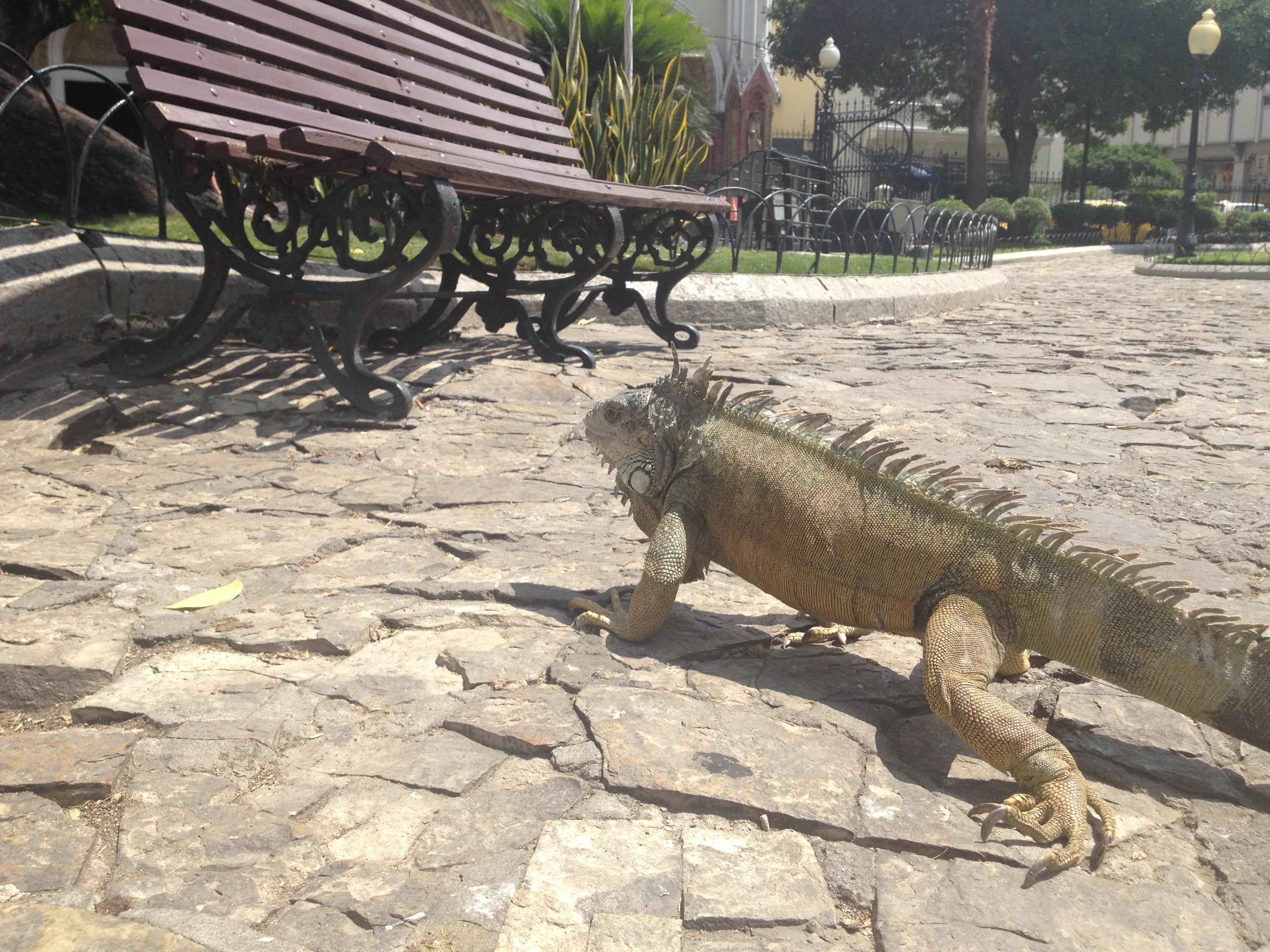 Iguanas em Guayaquil